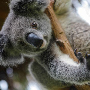 A climbing koala looking down from the branch of a tree