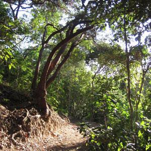 Lush vegetation along a waking track on Lindeman Island in the Whitsundays