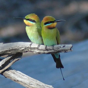 A pair of Rainbow Bee-Eaters perched together on a branch over the water