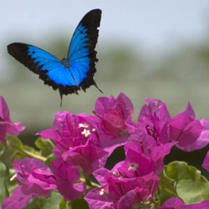 Ulysses butterfly flying over magenta bougainvillaea flowers